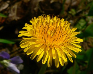 Dandelions & Other Greens – A Spring Tonic